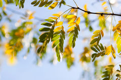 Autumn leaves  of acacia in the forest Stock Photography