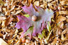 Autumn Leaves and Acorn Royalty Free Stock Photos