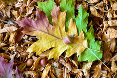 Autumn Leaves and Acorn Royalty Free Stock Images