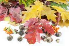 Autumn leaves and acorn with place Royalty Free Stock Photography