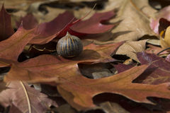 Autumn Leaves and Acorn - Quercus Palustris, Pin Oak. Fallen acorn sitting on autumn fallen leaves from the Quercus Palustris aka Pin Oak tree stock image
