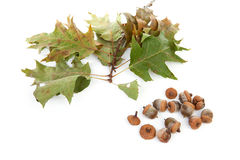 Autumn leaves with acorns Stock Photos
