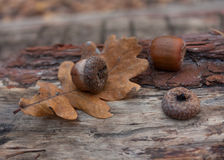 Autumn leaves acorns Stock Photography