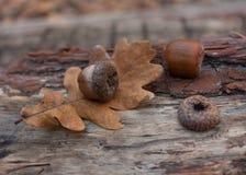 Autumn leaves acorns Stock Photography