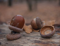 Autumn leaves acorns Royalty Free Stock Image