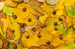 Autumn leaves (actinidia)background, texture with acorns Stock Images