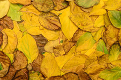 Autumn leaves (actinidia)background, texture Royalty Free Stock Photo