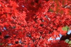 Autumn Leaves Of Adashino Nenbutsu-ji Stock Images