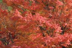 Autumn Leaves Of Adashino Nenbutsu-ji Stock Photo