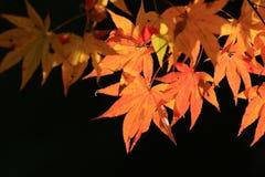 Autumn Leaves Of Adashino Nenbutsu-ji Stockfotografie