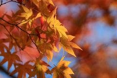 Autumn Leaves Of Adashino Nenbutsu-ji Stock Image