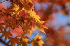 Autumn Leaves Of Adashino Nenbutsu-ji Stockbild