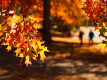 Autumn leaves in Adelaide Hills. Isolated Autumn maple leaves with people walking in the background royalty free stock photos