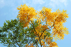 Autumn leaves against a blue sky Stock Photography