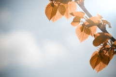 Autumn leaves against blue sky Royalty Free Stock Photography