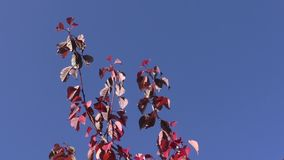 Autumn leaves against the blue sky stock video footage
