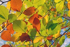 Autumn leaves against a blue sky. In the Netherlands Royalty Free Stock Photos