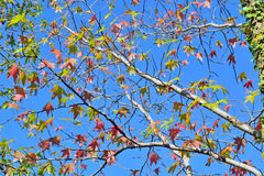 Autumn leaves against the blue sky background Stock Images