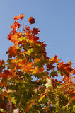 Autumn leaves against the blue sky Royalty Free Stock Photography