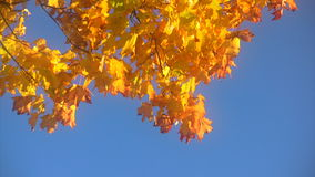 Autumn leaves against  blue sky stock video