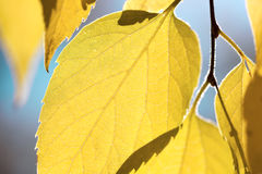Autumn leaves against blue sky - fall season background Royalty Free Stock Image