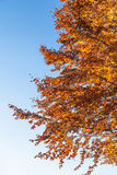 Autumn leaves against blue sky Royalty Free Stock Images