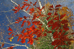 Autumn Leaves Against a Blue Sky. Red Oak Leaves and White Birch Branches Against a Blue sky - Ontario, Canada stock image