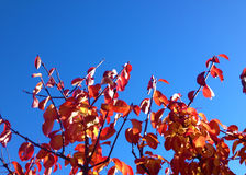 Autumn Leaves against Blue Sky Royalty Free Stock Photos