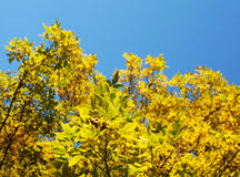 Autumn leaves against blue sky Stock Photos