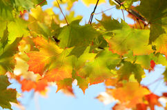 Autumn leaves against the clear sky Royalty Free Stock Photos