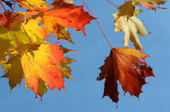 Autumn leaves against the clear sky Stock Image