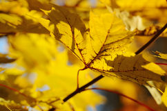 Autumn leaves against the clear sky Stock Photography