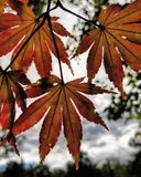 Autumn leaves against the clouds stock photo