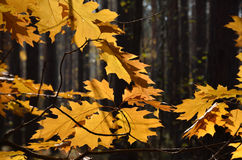 Autumn leaves against the dark forest Royalty Free Stock Images