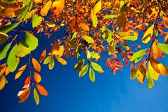AUTUMN LEAVES AGAINST A DEEP BLUE SKY. A BRIGHT, COLOURFUL PHOTO OF GREEN, ORANGE, RED, AND YELLOW AUTUMN LEAVES PHOTOGRAPHED AGAINST A DEEP BLUE SKY WITH SPACE royalty free stock image