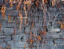 Autumn Leaves Against A Grey Slate Wall stock photography