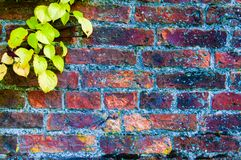 Autumn leaves against red brick wall Stock Image
