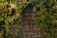 Autumn leaves against a red brick wall. Vine plants turning red and yellow due to cold weather Royalty Free Stock Images