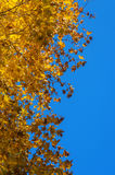 Autumn leaves against the sky. Bright yellow maple leaves against the blue sky, a bright contrast colors of autumn Stock Photo