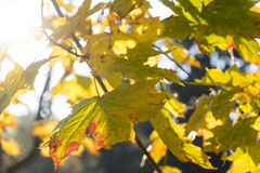 Autumn leaves against sun in forest Royalty Free Stock Image