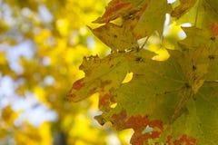 Autumn leaves against sun in park Stock Photos