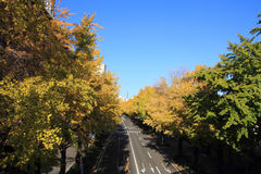 Autumn leaves along Yamashita park avenue Royalty Free Stock Photo