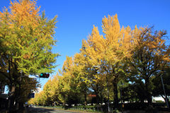 Autumn leaves along Yamashita park avenue Royalty Free Stock Photography