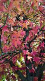 Autumn leaves. American sweetgum tree in October Stock Images