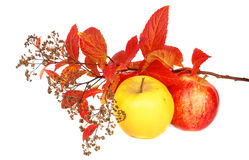 Autumn leaves and apples. Royalty Free Stock Image