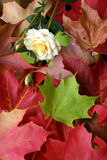 Autumn Leaves Arrangement and One Rose. On an autumn day, this is an arrangement of several multicolored maple leaves and one rose Royalty Free Stock Photography