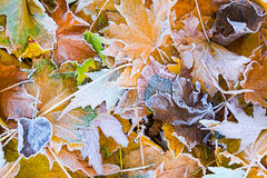 Autumn leaves. As a background Royalty Free Stock Photo