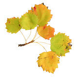 Autumn leaves of an aspen, top surface Royalty Free Stock Photo