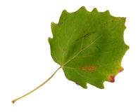 Autumn leaves of an aspen, top surface Royalty Free Stock Images