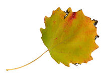 Autumn leaves of an aspen, top surface Royalty Free Stock Image
